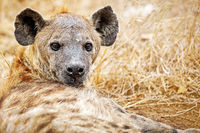 hyena, south africa, wildlife, Crocuta crocuta