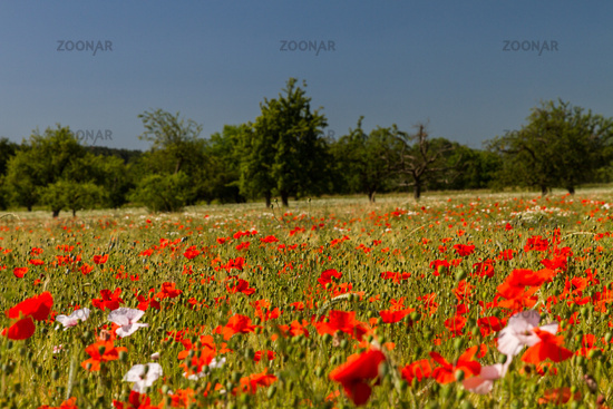 Poppies in cornfield 16