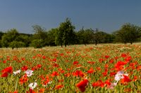 Poppies in cornfield 16