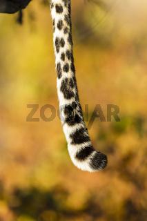 Leopardenschwanz (Panthera pardus), Afrika, Botswana, Tuli Block