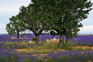 Baeume im Lavendelfeld, Provence, France