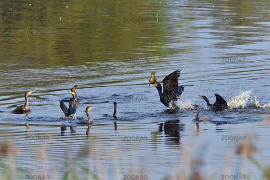 Great cormorant hunting