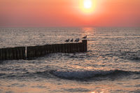 sea with groynes and seagulls at sunset at Ahrenshoop, Mecklenburg-Vorpommern, Germany