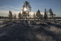 Frost covered swamp landscape in backlight, Lapland, Sweden