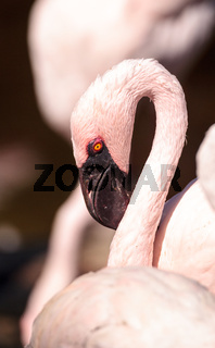 Pink lesser flamingo, Phoeniconaias minor
