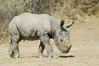 Breitmaulnashorn, Weisses Nashorn (Ceratotherium simum) 4 Tage altes Jungtier, Okapuka Ranch, Namibia, Afrika, young White Rhinoceros or Square-lipped rhinoceros, Rhino, Africa