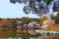 A lake view of a beautiful Japanese garden with cherry blossoms and boats