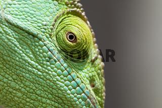 Riesenchamaeleon, Calumma parsonii,  parsons chameleon, weibchen,  female, Madagaskar, Afrika, madagascar, africa