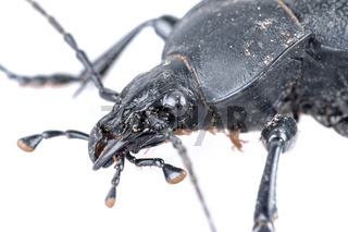 Detail of head of black beetle on a white background