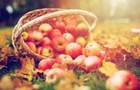 wicker basket of ripe red apples at autumn garden