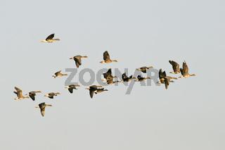 Graugaense oder Wildgaense (Anser anser) im Flug, Greylag Geese, Wild geese
