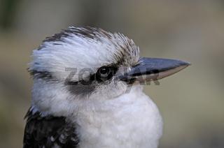kookaburra, Lachender Hans, Dacelo novaeguineae, Queensland, Australien