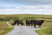 Herd of cattle standing on a road, Isle of Islay