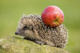 Igel mit Apfel auf Ruecken, hedgehog with apple on its back