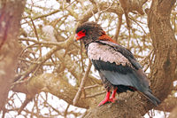 Bateleur, Kruger NP, South Africa