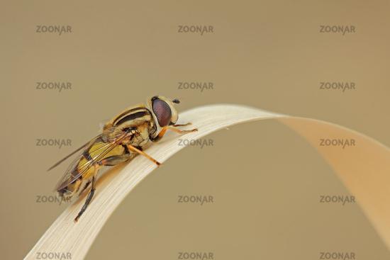 Hover fly (Helophilus trivittatus)