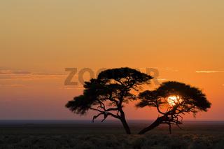 Schirmakazie, Akazie (Acacia tortilis) im Sonnenaufgang, Etosha-Nationalpark, Namibia, Afrika, Umbrella Thorn Acacia at sunrise, Etosha NP, Africa