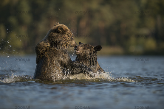 bathing fun... European Brown Bears *Ursus arctos*