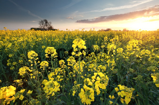 canola seed flower field st sunset