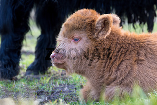 Head of lying Brown newborn scottish highlander calf