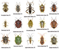 Set of True Bugs of Europe - Hemiptera