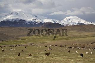 Lamas (Lama glama), Alpakas (Vicugna pacos) im NP Lauca, Chile, llamas and Alpacas in np Lauca