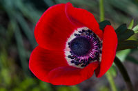 Macro of a red poppy anemone