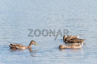 Four Mallard swimming and seeking food