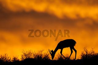 Springbok silhouette