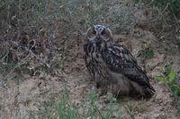 perched between bushes... Eurasian Eagle Owl *Bubo bubo*