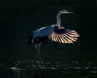 Great Blue Heron in Flight V