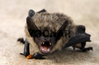 Breitfluegelfledermaus, Eptesicus serotinus, Serotine Bat