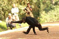 Chimp on the Run