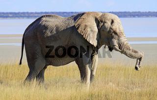 Afrikanischer Elefant, Etosha Nationalpark, Namibia; african elephant, Etosha National Park, Namibia