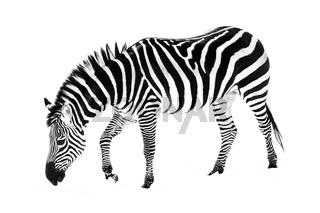 Zebra in Snow V