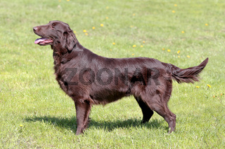 Typical  Brown Flat Coated Retriever in the  garden