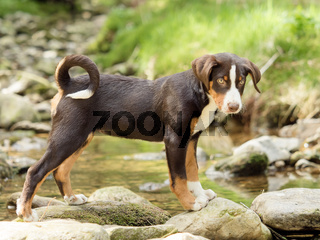 Appenzeller puppy stands and waits