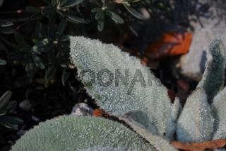Verbascum, Königskerze, Mullein, wooliges Blatt, whooly leaf