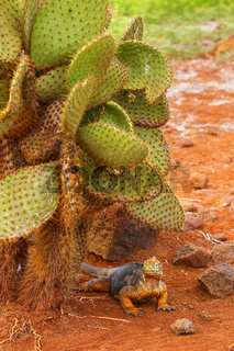 Galapagos Land Iguana sitting under cactus on North Seymour island, Galapagos National Park, Ecuador