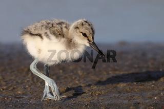 Saebelschnäbler, Recurvirostra avosetta, Europa, Nordsee