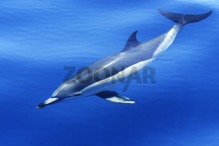 Gemeiner Delfin, common dolphin