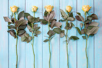 Blooming roses on blue wooden background