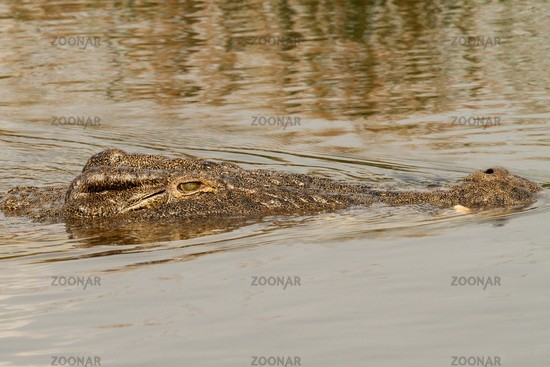 Swimming Croc