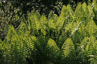 Matteucia struthiopteris, Straußenfarn, Trichterfarn im Licht