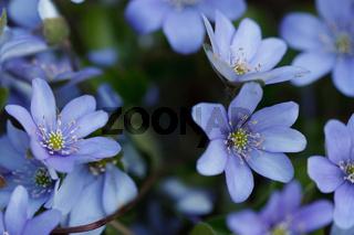 Leberblümchen - Hepatica nobilis - Anemone hepatica