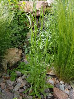 Kornblume; Centaurea; cyanus, Sproessling