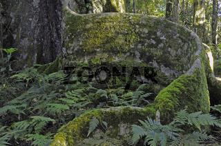 typische pfahlwurzeln eines urwaldriesen im lamington np, austra
