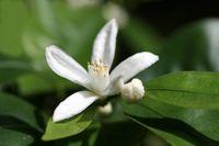 Blossom of lemmon