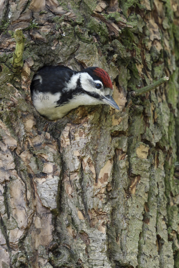 fledged or leaving its nest hole... Great Spotted Woodpecker *Dendrocopos major*