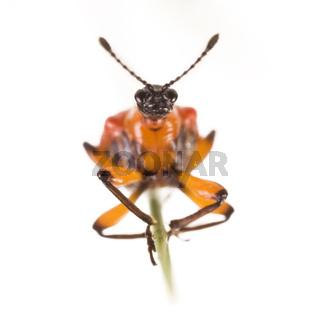 Lilienhähnchen (Lilioceris lilii) - lily leaf beetle [Lilioceris lilii]
